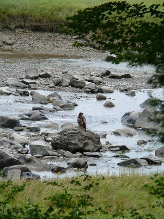 Whiting, Maine: Young bald eagle seen from dining room window