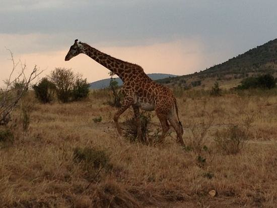 East Africa Adventure Tours and Safaris - Day Tours: Giraffe
