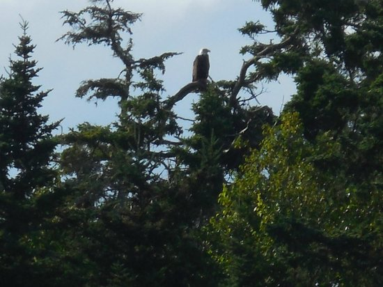 Downeast Charter Boat Tours: Bald eagle.