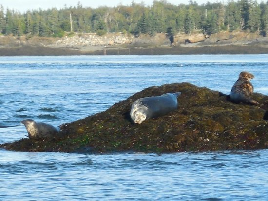 Downeast Charter Boat Tours: So many seals.  They were so fun to watch.