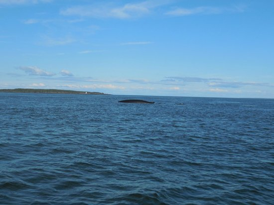Downeast Charter Boat Tours: A very small part of a finback whale, the second largest of the whale species.