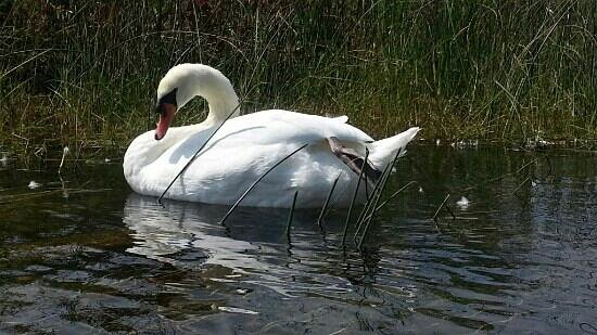 Milford, MI: swans