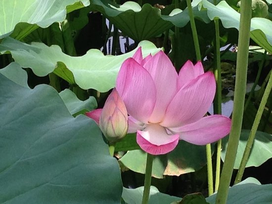 Shinobazu Pond: ハスの花