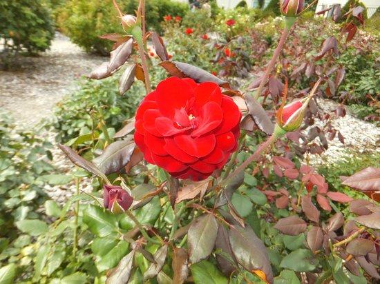 Haboro Rose Garden: バラ。