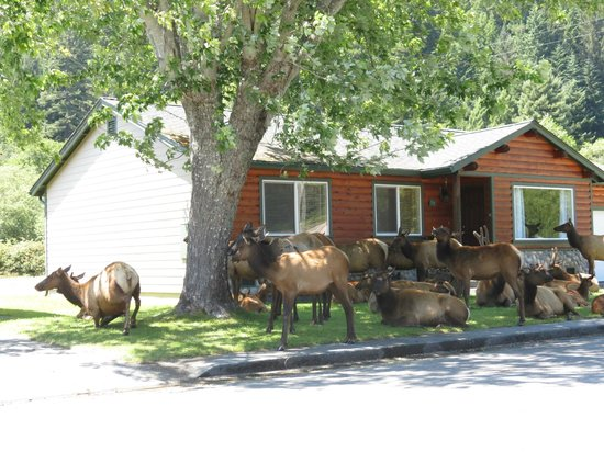Elk Meadow Cabins: Elk huddle around cabin #19