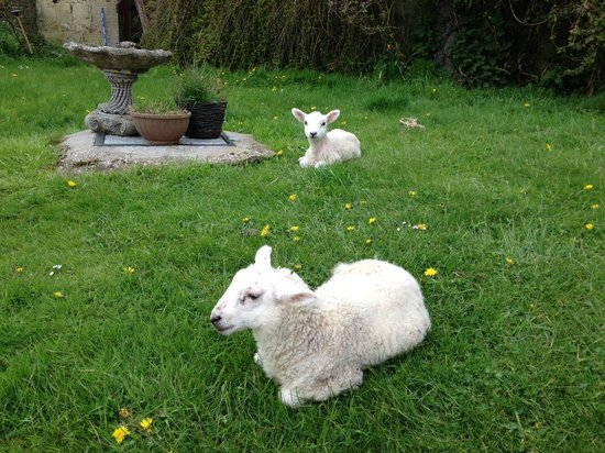 Lorbottle West Steads : Baby lambs welcoming me upon arrival