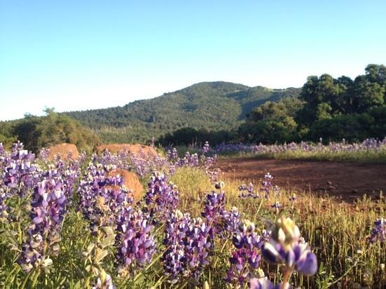 Annadel State Park: lupine along north burma