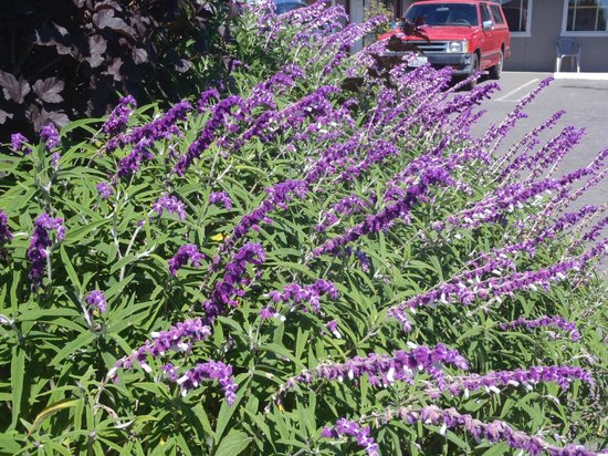 Surf Motel and Gardens: purple