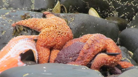 Otter's Cove Bed & Breakfast: starfish viewed from the back yard