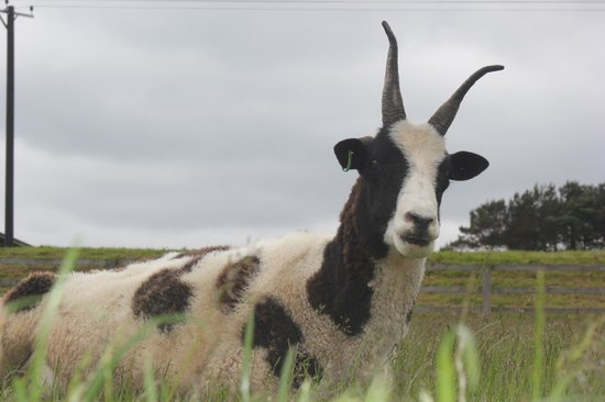 Hall Hill Farm: goat