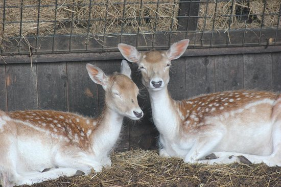Hall Hill Farm: Deer