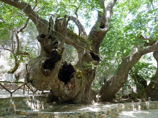 Nea Kydonia, Griechenland: Plane Tree at Vlatos-2