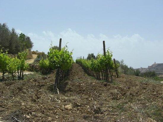 Ta' Mena Estate: Vineyard