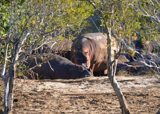 St Lucia Tours & Charters: Hippos on the banks of Lake St Lucia