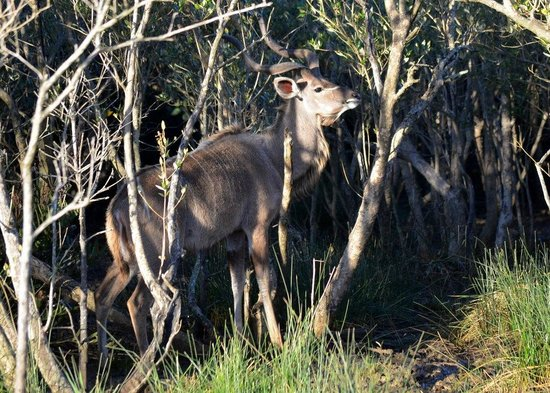 St Lucia Tours & Charters: Kudu from Lake St Lucia