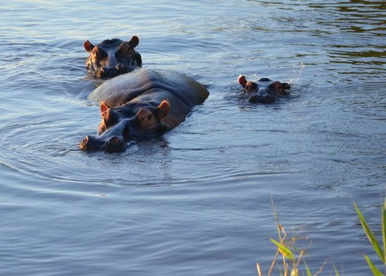St Lucia Tours & Charters: Hippos in Lake St Lucia