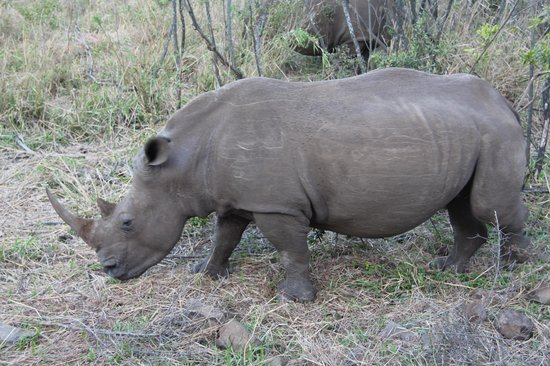 Bushwillow Collection: Lucky to see this white rhino in full view at Hluhluwe Game Park
