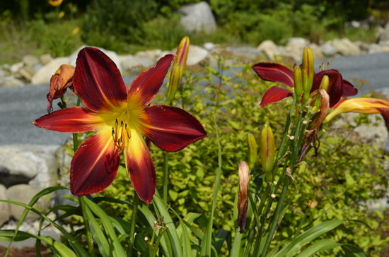 Bear Mountain Lodge: Carol's Gardens Feature Beautiful Daylillies