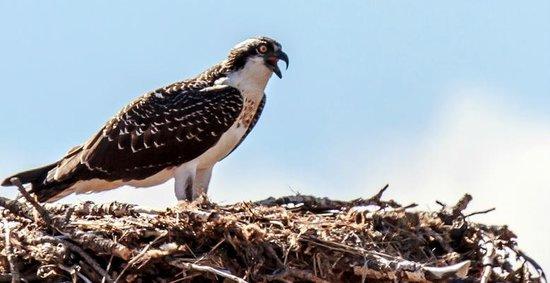 Garnet: Osprey  nest