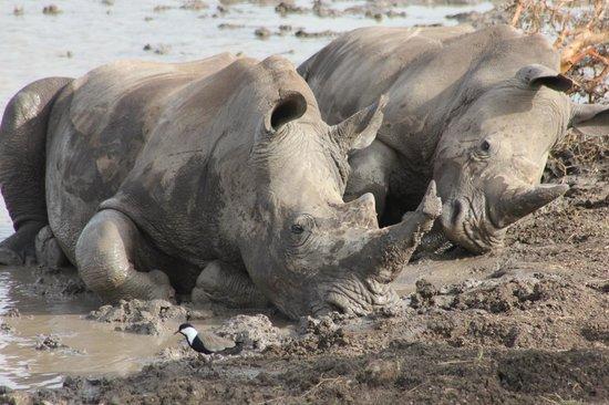 Lewa Safari Camp: Rhinos wallowing