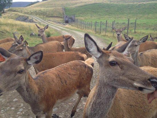 Rothiemurchus: Feeding the deer