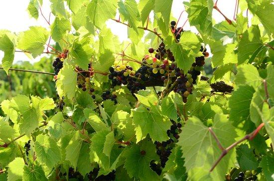 Lautenbach's Orchard Country: Grapes