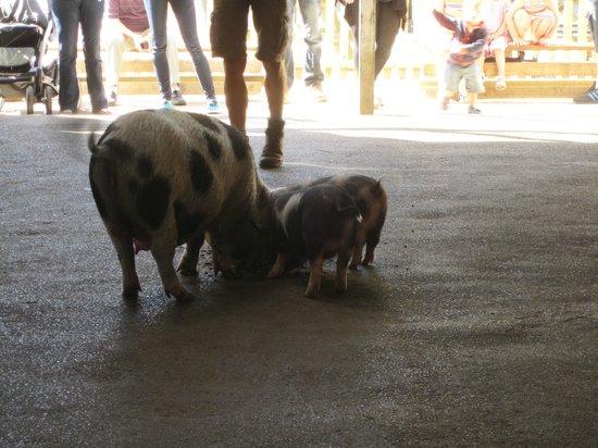 Farmer Palmer's Farm Park: Meet the pigs !