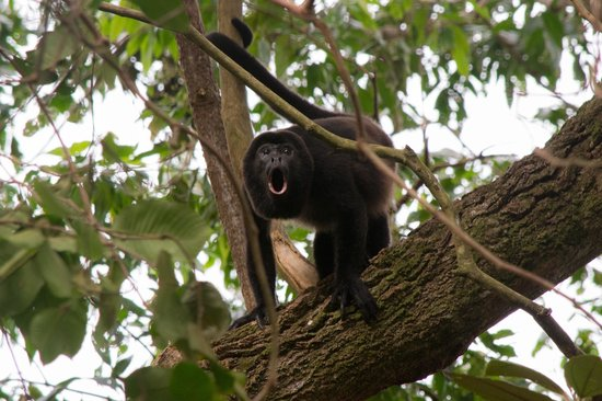 Santa Catalina, Panamá: Coiba howler while hiking with Fluid adventures