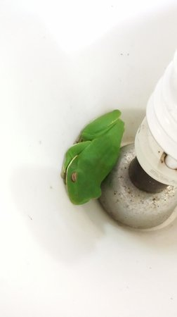 Red Mill House in Daintree: Red Mill House - Sleepy White-lipped Tree Frog