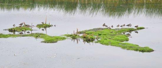 Sackville Waterfowl Park: Lesser Yellowlegs, SWP