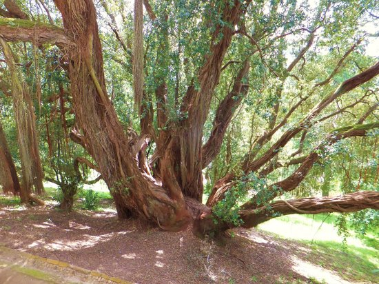 Parque de Monserrate: One of the delightful sprawling trees you will encounter