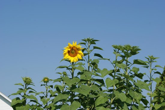 The Garden Door : Sunflower