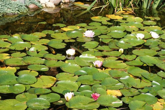 The Garden Door: Lily pads