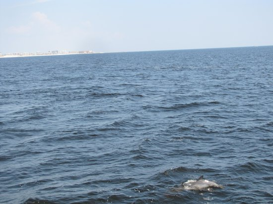 Southern Star Dolphin Cruise : Dolphins