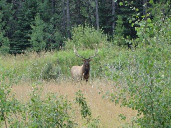 Mountain Meadow Trail Rides: Bull Elk