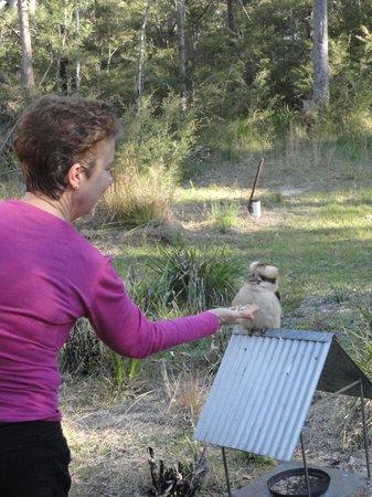 The Bower at Broulee : Feeding the Kookaburra