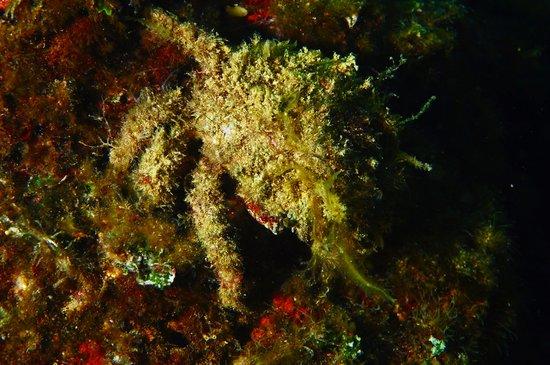 Diving nord Adriatico Jesolo: Spirografo