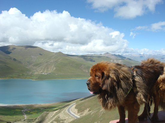 Trekking Team Pvt. Ltd. - Day Tours: Tibetan Mastiff by mountain lake