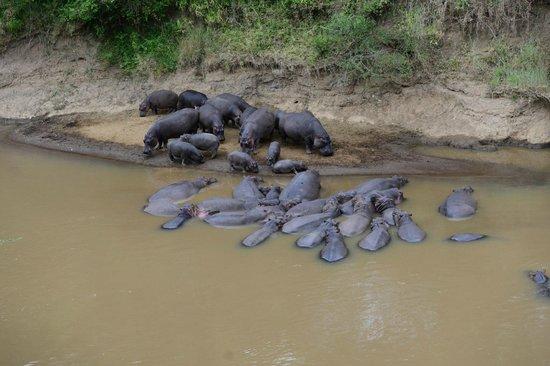 Fairmont Mara Safari Club: More Hippos