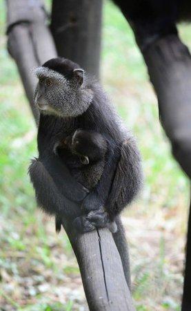 Fairmont Mara Safari Club: Blue Monkey Mommy and Baby