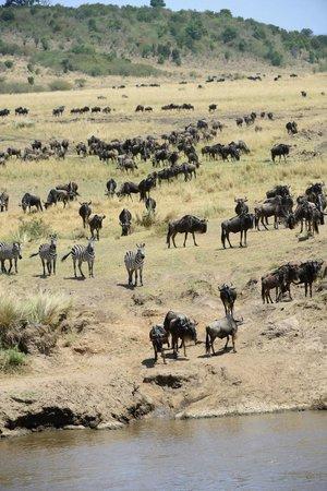 Fairmont Mara Safari Club: Migration
