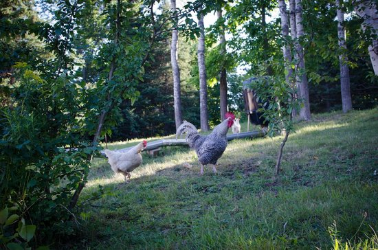 The Maven Gypsy Bed & Breakfast & Cottages : chickens on the property