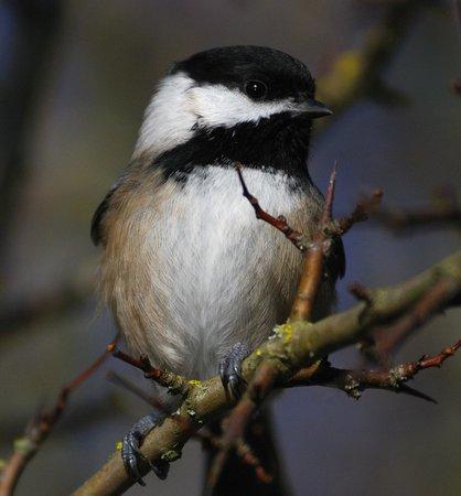 George C. Reifel Migratory Bird Sanctuary: Chickadee