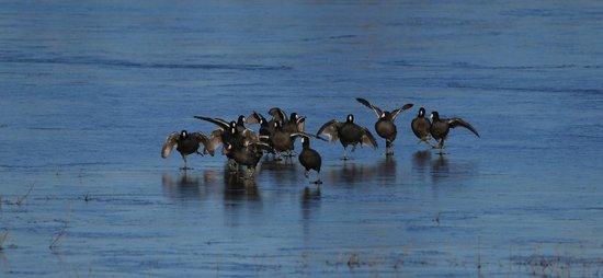 George C. Reifel Migratory Bird Sanctuary: Coots running on ice.