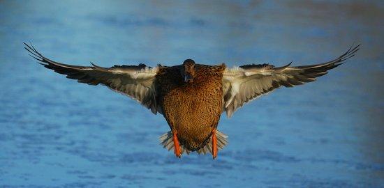 George C. Reifel Migratory Bird Sanctuary: Mallard hen coming in for a landing.