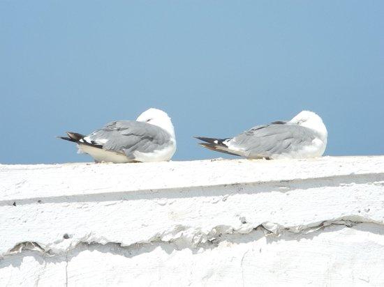Dar Maya: Seagulls