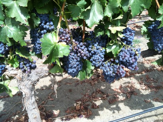 The INN at Europa Village : the grapes on the vines