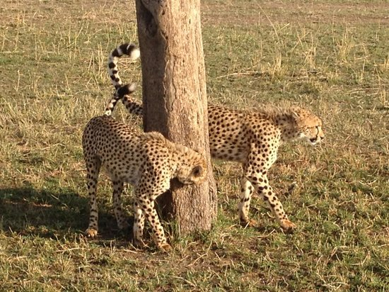Mara Explorer Camp : Our guide knew the cheetahs were headed for this tree and positioned us in the front row