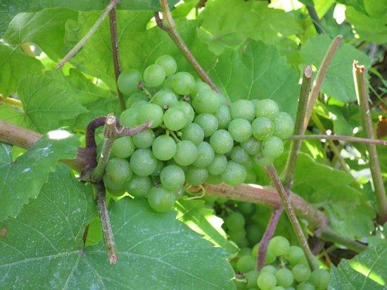 Sandbanks Vacations & Tours: Grapes at a Winery!