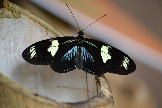 Mariposas de Mindo - Butterfly Garden : azul